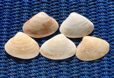 Atlantic Surf Clam Shells