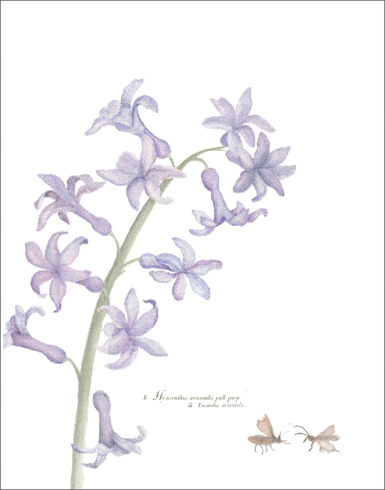 Hyacinthus Downloadable Print