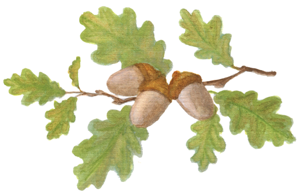 Oak Branch with Acorns downloadable artwork