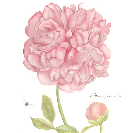 Peony Botanical Downloadable Print