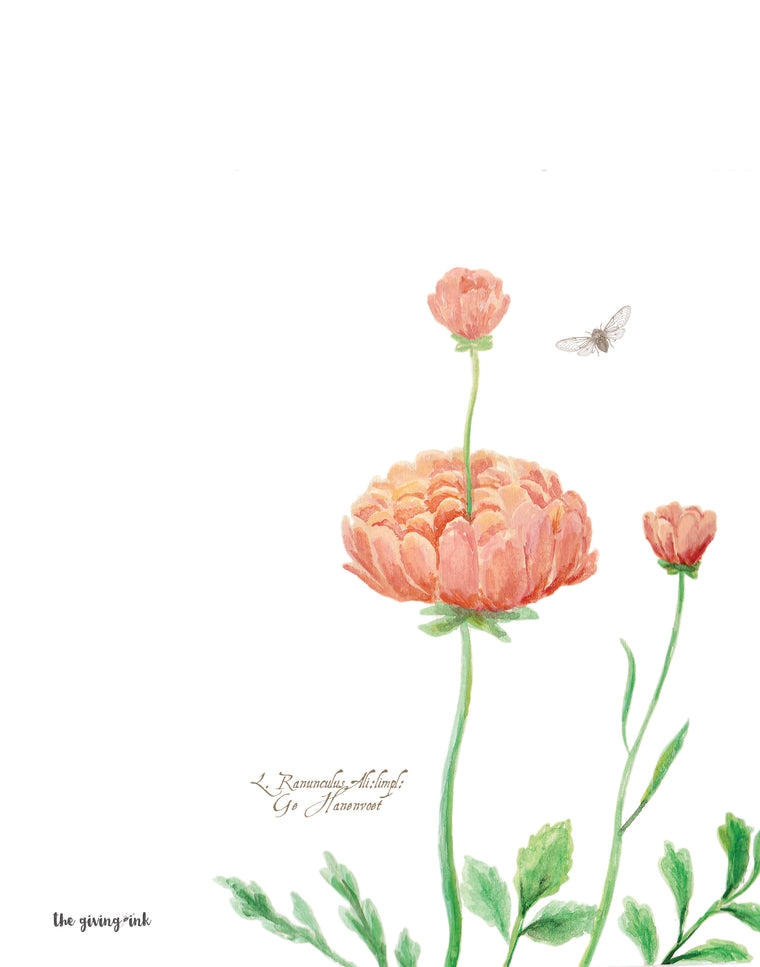 Ranunculus Botanical Downloadable Print