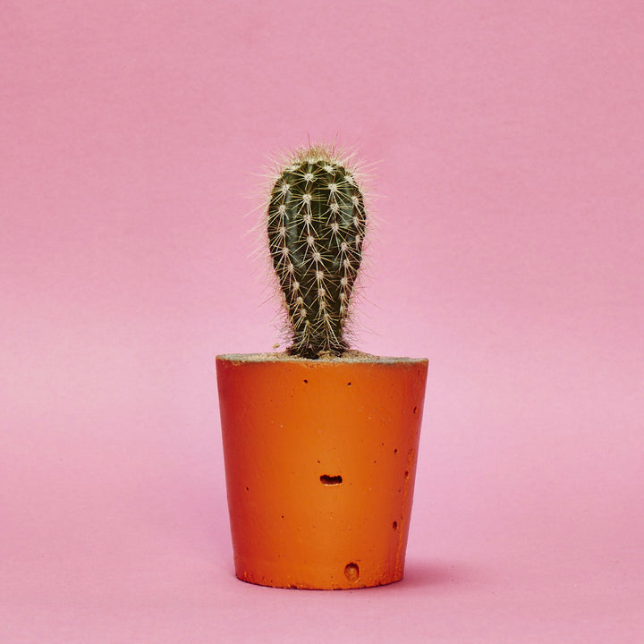 Concrete Cactus Pot Painted Orange, Small size, includes Cactus/ Succulent