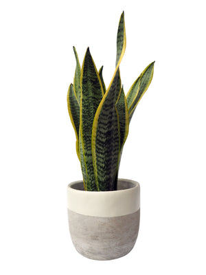 Concrete Painted Planter 15.5cm Hi Cacti