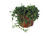 String of Beads (Senecio) Houseplant by Hi Cacti