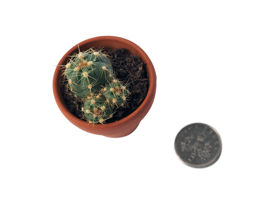 Extra Small Cactus in Terracotta Pot