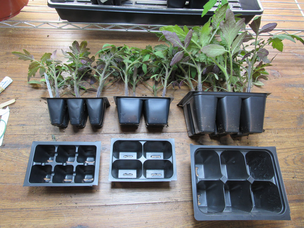 How to Have Tomato Transplants Ready for Your Garden in 6 Weeks - Container Size Matters