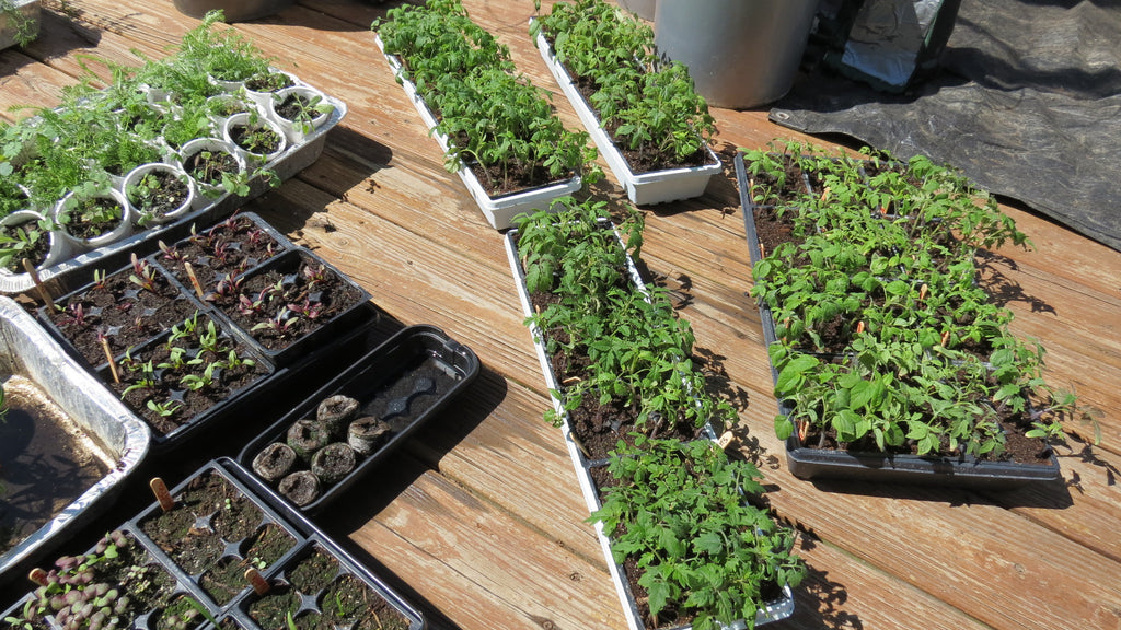 Acclimating Your Vegetable Seed Starts to The Outdoors: 'Hardening-off ' Vegetable Plants