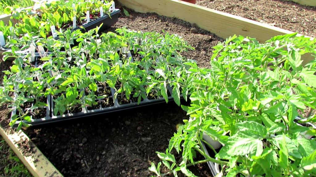 How to Grow Tomato & Vegetable Transplants Without Grow-Lights: Principles, Examples & Planting