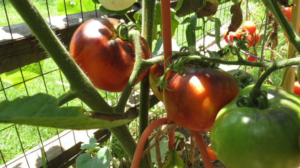 Complete Video Series (9): Growing Tomatoes and Peppers from Start to Finish