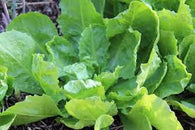 Endive Seeds Broadleaf Batavian (Heirloom)