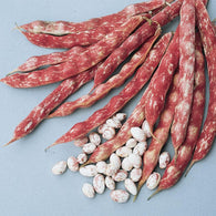 Bean Seeds French Horticulture Taylor Bean