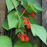 Bean Seeds Scarlet Emperor Runner Bean - Beautiful Flowering Bean