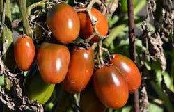 Tomato Seeds Black Plum (Heirloom)