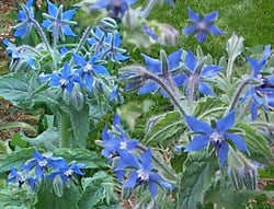 Herb Seeds Borage