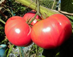 Tomato Seeds Brandywine Pink (Heirloom)