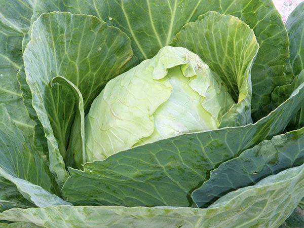 Cabbage Seeds Early Jersey Wakefield (Heirloom)