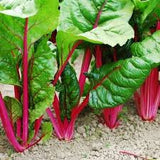 Chard Seeds Ruby Red (Heirloom)