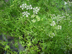Herb Seeds Cilantro