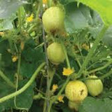 Cucumber Seeds Lemon (Heirloom)
