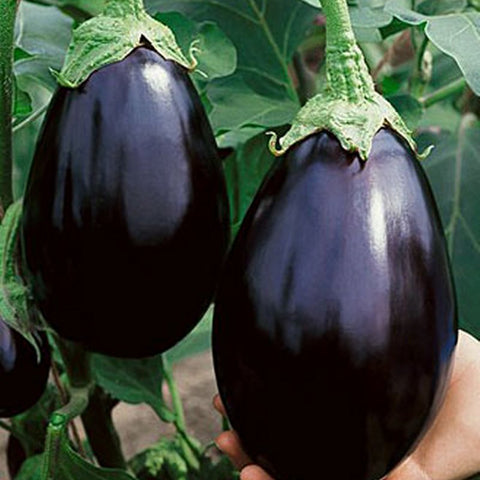 Eggplant Seeds Black Beauty (Heirloom)