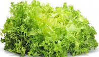 Limited Qty - Endive Seeds Green Curled Ruffec (Heirloom)