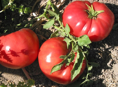 Tomato Seeds German Johnson (Heirloom)