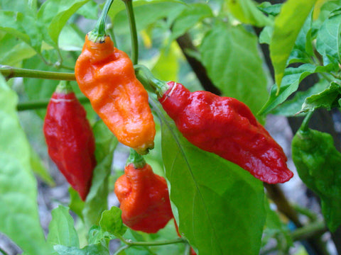 Pepper Seeds Ghost/Bhut Jolokia (Heirloom)