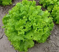 Lettuce Seeds Grand Rapids TBR (Heirloom)
