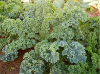 Kale Seeds Dwarf Siberian (Heirloom)