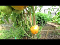 Tomato Seeds Kentucky Orange (Heirloom)