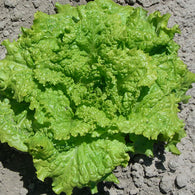 Lettuce Seeds Black Seeded Simpson (Heirloom)