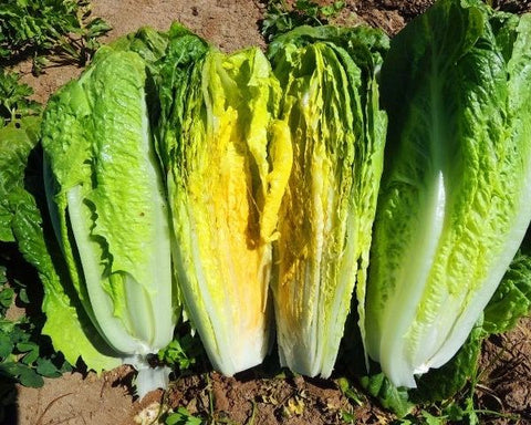 Lettuce Seeds Paris Island Cos Romaine (Heirloom)