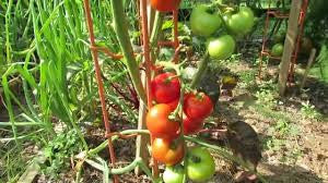 Tomato Seeds Matina (Heirloom)