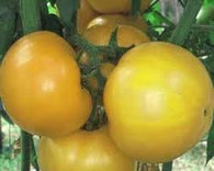 Tomato Seeds Mountain Gold