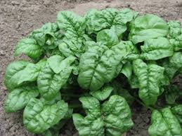 Spinach Seeds Giant Noble (Heirloom)