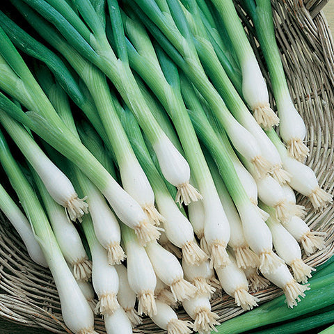 Onion Seeds Tokyo Long White Bunching (Heirloom)