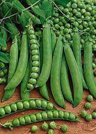 *** Closeout *** Pea Mammoth Melting - Sugar Snow Peas (Heirloom)