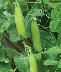 Pea Wando (Heirloom)