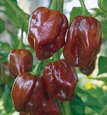 Pepper Seeds Habanero Chocolate  (Heirloom)