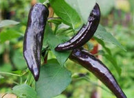 Pepper Seeds Pasilla Bajio  (Heirloom)