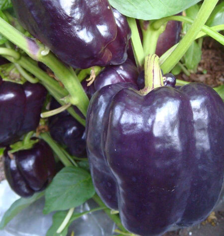 Pepper Seeds Purple Beauty