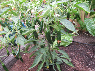 Pepper Seeds Serrano (Heirloom)