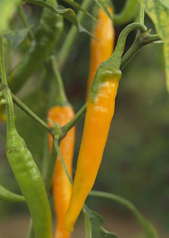 Pepper Seeds Orange Cayenne (Heirloom)