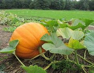Pumpkin - Connecticut Field Heirloom