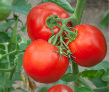 *** Closeout *** Tomato Seeds Rutgers (Heirloom)