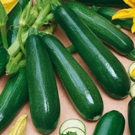 *** Closeout *** Squash/Zucchini Seeds Black Beauty Summer Squash