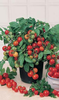 Tomato Seeds Cherry Tiny Tim (Heirloom)