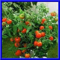 5 Great Container Tomatoes: Perfect for Small Space Gardening