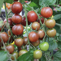 Tomato Seeds Cherry Chocolate