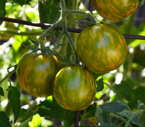 Tomato Seeds Green Zebra